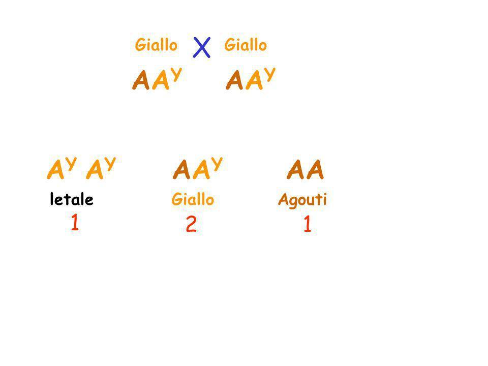 Giallo AgoutiGiallo 21 X AAYAAY AAYAAY AAAAYAAY A Y letale 1