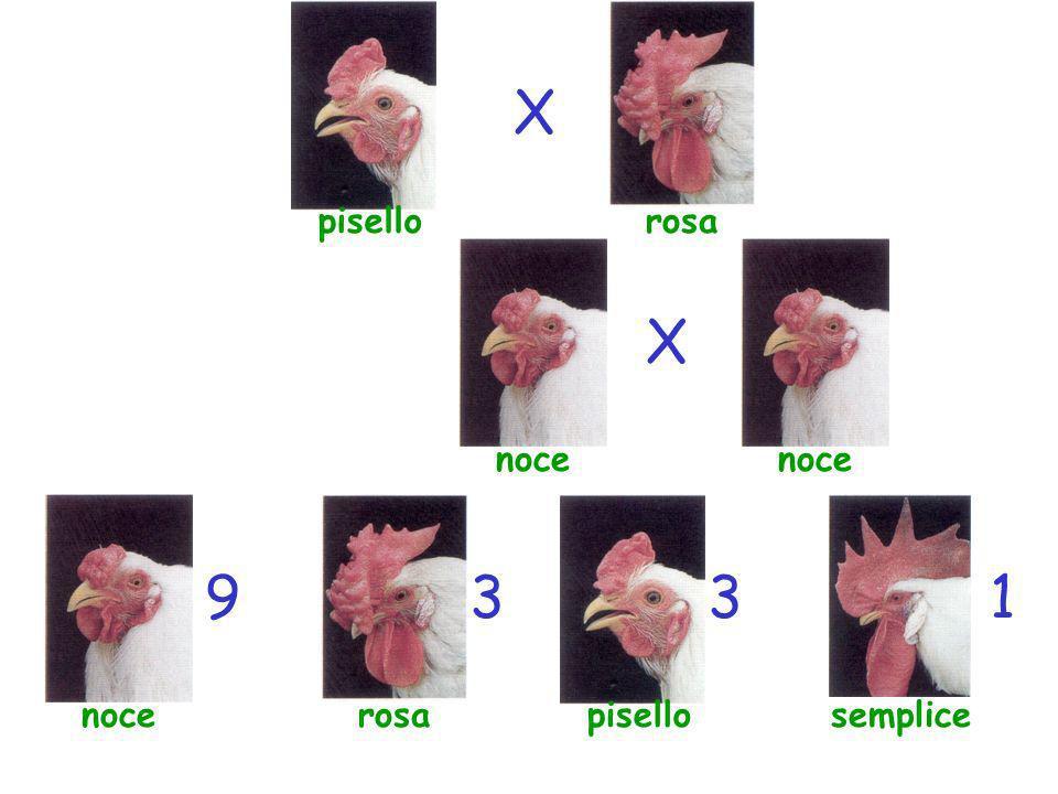 pisello X X semplice 13 rosanoce rosanoce 39
