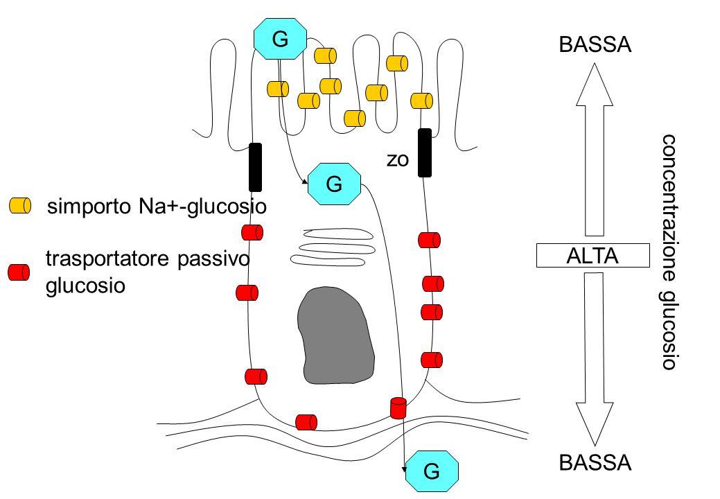 zo G G G ALTA BASSA concentrazione glucosio simporto Na+-glucosio trasportatore passivo glucosio