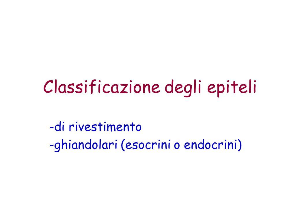 Classificazione degli epiteli -di rivestimento -ghiandolari (esocrini o endocrini)