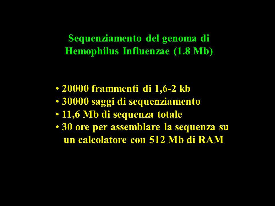 Sequenziamento del genoma di Hemophilus Influenzae (1.8 Mb) 20000 frammenti di 1,6-2 kb 30000 saggi di sequenziamento 11,6 Mb di sequenza totale 30 or