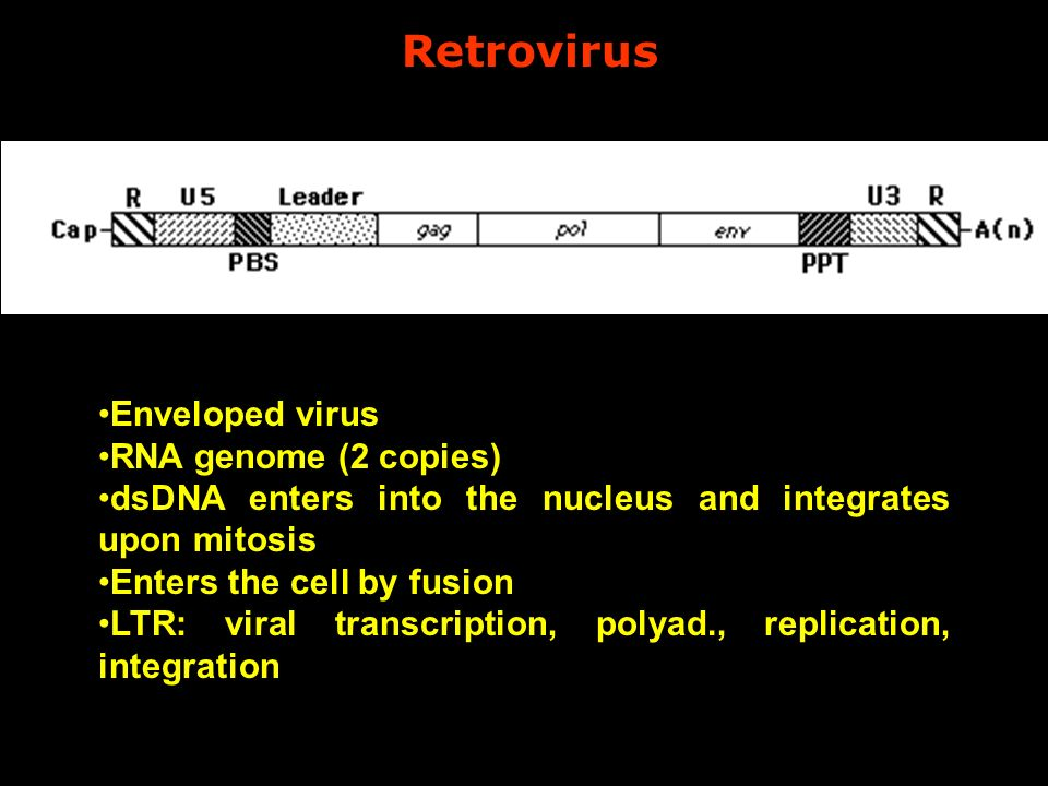 Retrovirus Enveloped virus RNA genome (2 copies) dsDNA enters into the nucleus and integrates upon mitosis Enters the cell by fusion LTR: viral transc