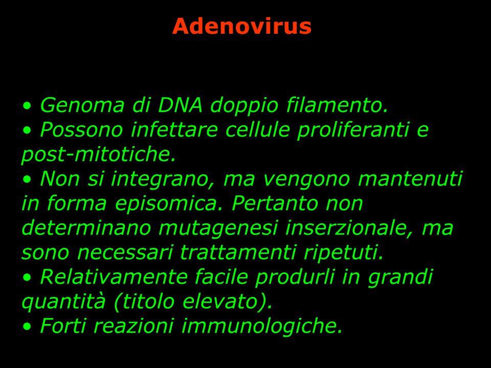 Adenovirus Genoma di DNA doppio filamento. Possono infettare cellule proliferanti e post-mitotiche. Non si integrano, ma vengono mantenuti in forma ep