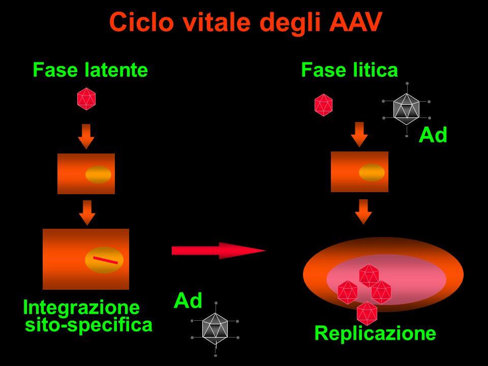 Ciclo vitale degli AAV Integrazione sito-specifica Fase latente Ad Fase litica Replicazione Ad