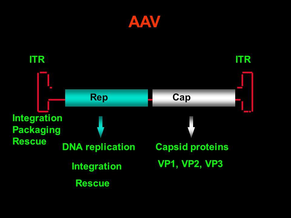 Cap ITR Rep DNA replicationCapsid proteins VP1, VP2, VP3 Integration Packaging Rescue AAV