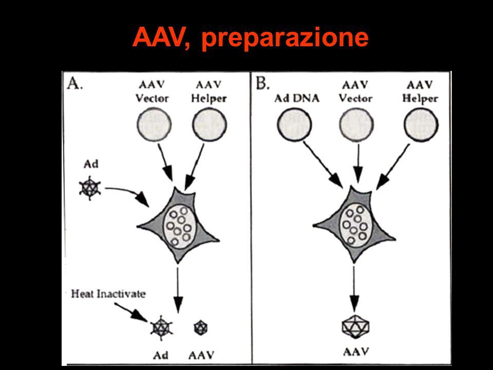 AAV, preparazione