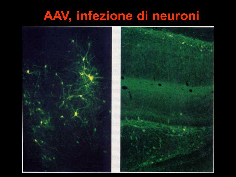 AAV, infezione di neuroni