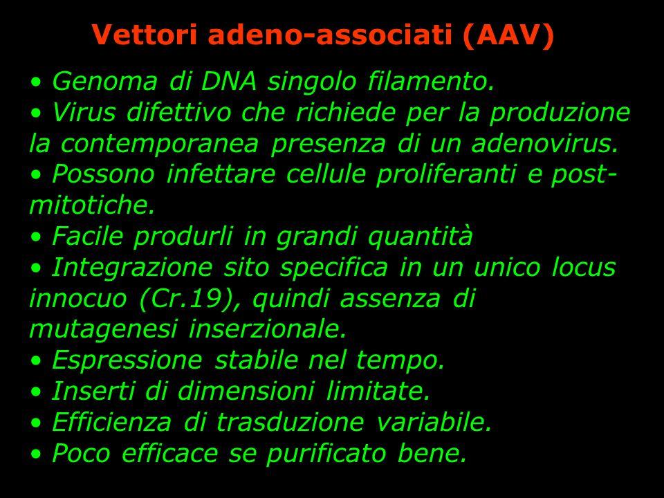 Vettori adeno-associati (AAV) Genoma di DNA singolo filamento. Virus difettivo che richiede per la produzione la contemporanea presenza di un adenovir
