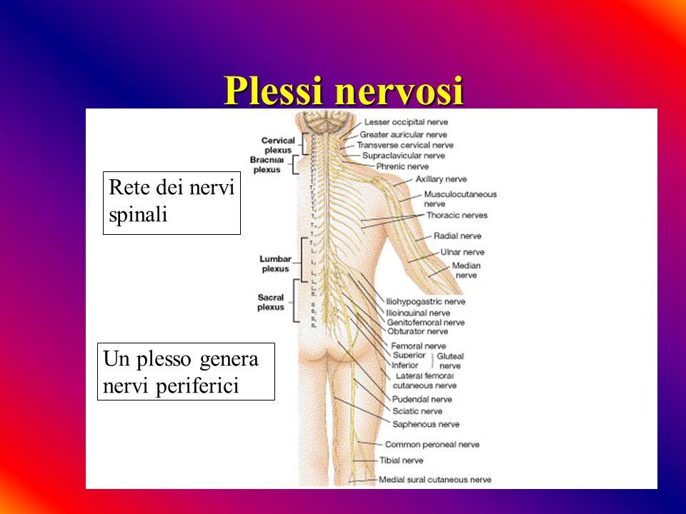 Plessi nervosi Rete dei nervi spinali Un plesso genera nervi periferici
