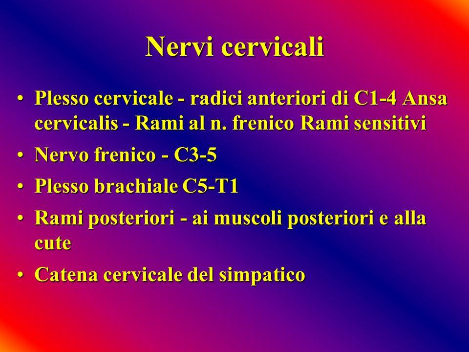 Nervi cervicali Plesso cervicale - radici anteriori di C1-4 Ansa cervicalis - Rami al n. frenico Rami sensitiviPlesso cervicale - radici anteriori di