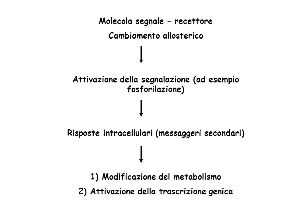 Molecola segnale – recettore Cambiamento allosterico Attivazione della segnalazione (ad esempio fosforilazione) Risposte intracellulari (messaggeri secondari) 1) Modificazione del metabolismo 2) Attivazione della trascrizione genica