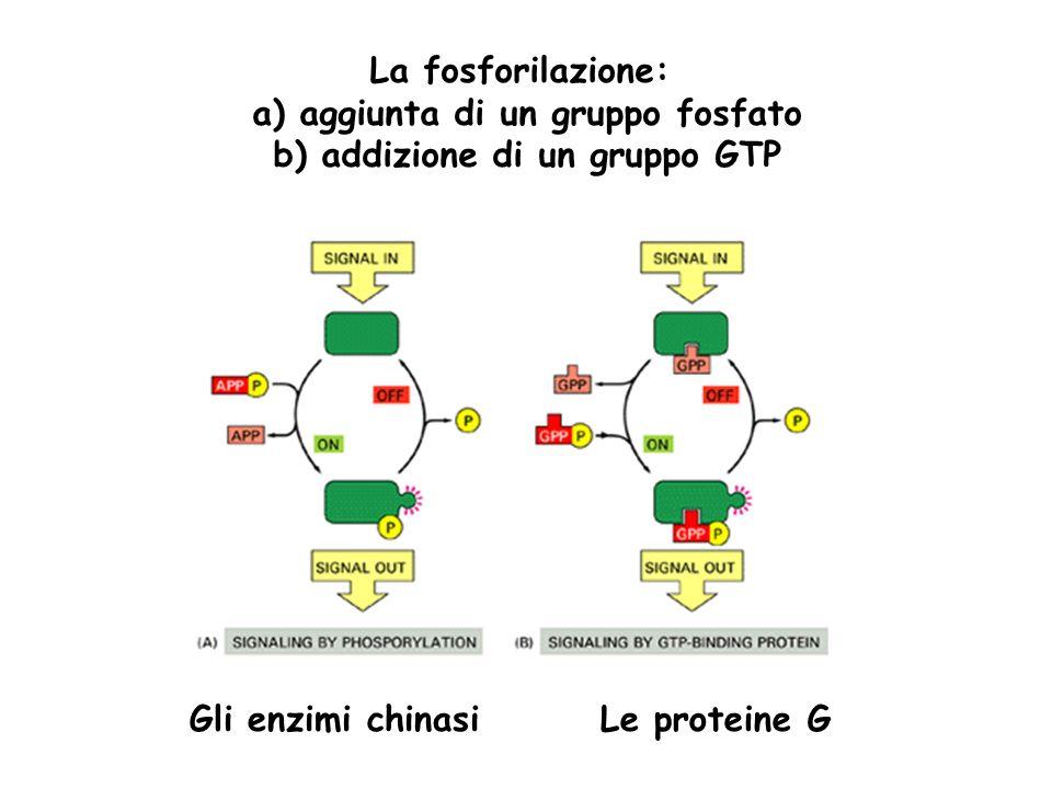 La fosforilazione: a) aggiunta di un gruppo fosfato b) addizione di un gruppo GTP Le proteine GGli enzimi chinasi