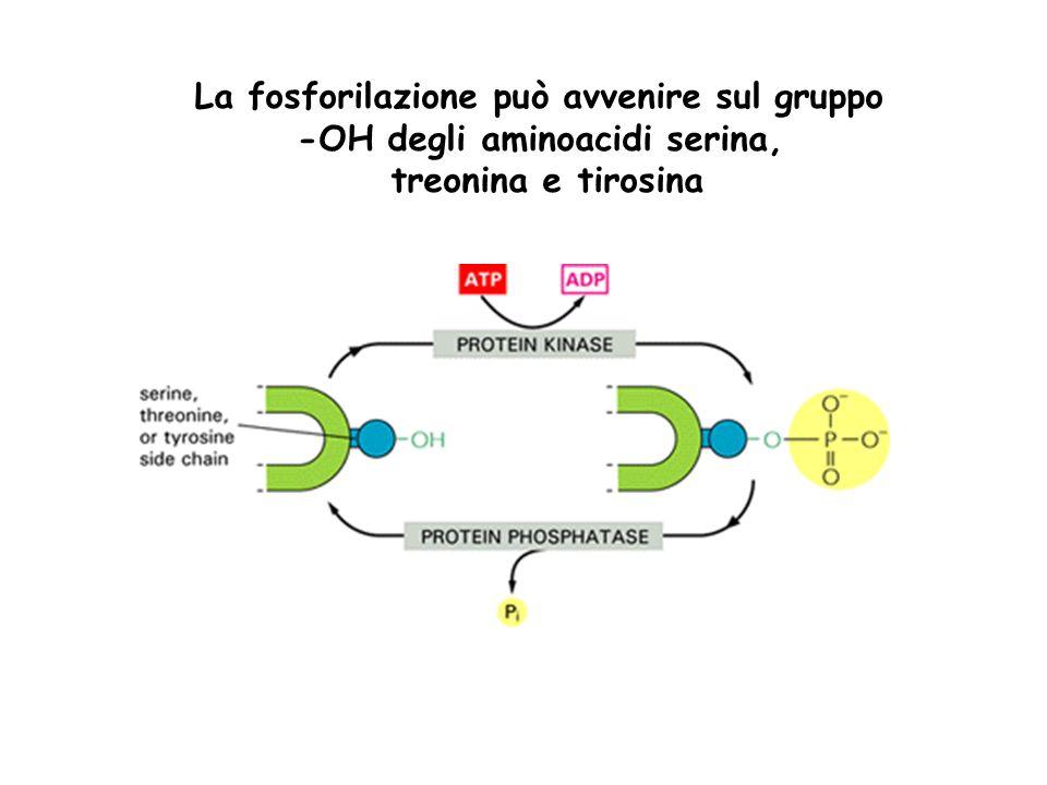 La fosforilazione può avvenire sul gruppo -OH degli aminoacidi serina, treonina e tirosina