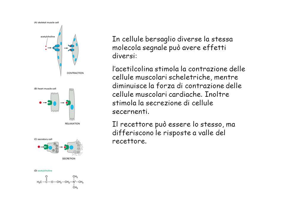 In cellule bersaglio diverse la stessa molecola segnale può avere effetti diversi: lacetilcolina stimola la contrazione delle cellule muscolari scheletriche, mentre diminuisce la forza di contrazione delle cellule muscolari cardiache.