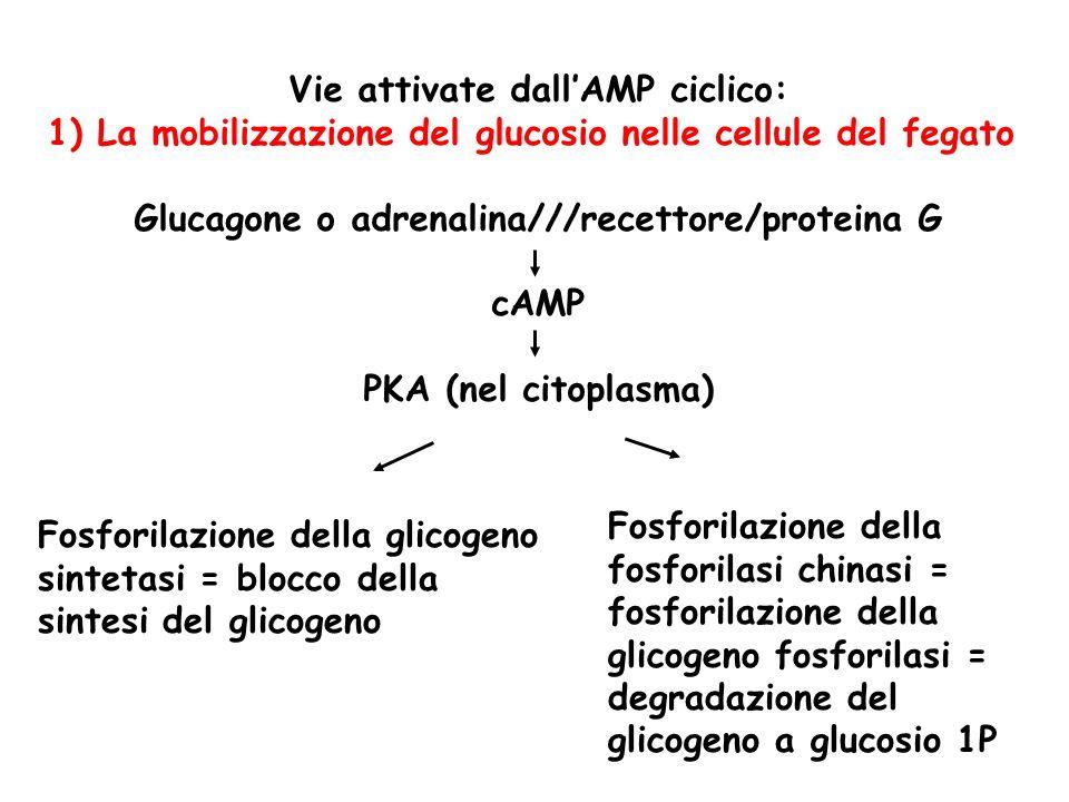 Vie attivate dallAMP ciclico: 1) La mobilizzazione del glucosio nelle cellule del fegato Glucagone o adrenalina///recettore/proteina G cAMP PKA (nel citoplasma) Fosforilazione della glicogeno sintetasi = blocco della sintesi del glicogeno Fosforilazione della fosforilasi chinasi = fosforilazione della glicogeno fosforilasi = degradazione del glicogeno a glucosio 1P