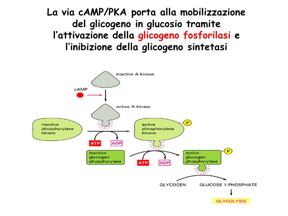 La via cAMP/PKA porta alla mobilizzazione del glicogeno in glucosio tramite lattivazione della glicogeno fosforilasi e linibizione della glicogeno sintetasi