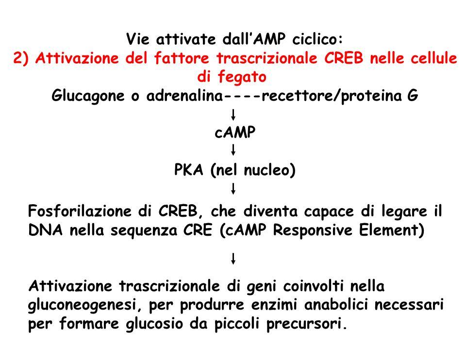 Vie attivate dallAMP ciclico: 2) Attivazione del fattore trascrizionale CREB nelle cellule di fegato Glucagone o adrenalina----recettore/proteina G cA