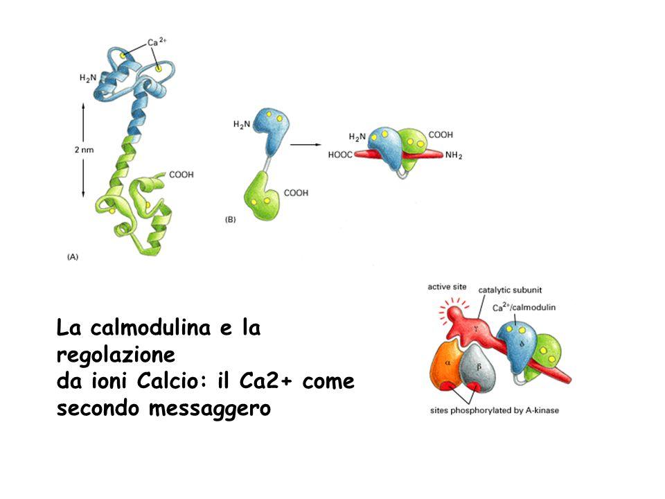 La calmodulina e la regolazione da ioni Calcio: il Ca2+ come secondo messaggero
