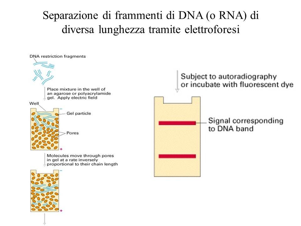 La PCR può essere utilizzata per lanalisi di polimorfismi per i siti di restrizione (RFLP)