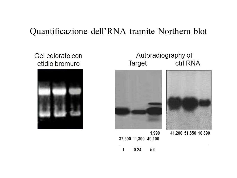 Quantificazione dellRNA tramite Northern blot Gel colorato con etidio bromuro Autoradiography of Target ctrl RNA 1,990 41,200 51,850 10,890 37,500 11,