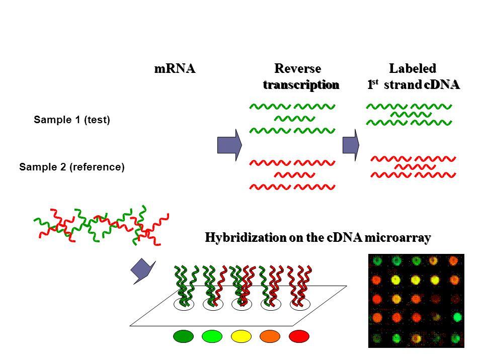 mRNA Reverse transcription Labeled 1 1 st strand cDNA Hybridization on the cDNA microarray Sample 1 (test) Sample 2 (reference)