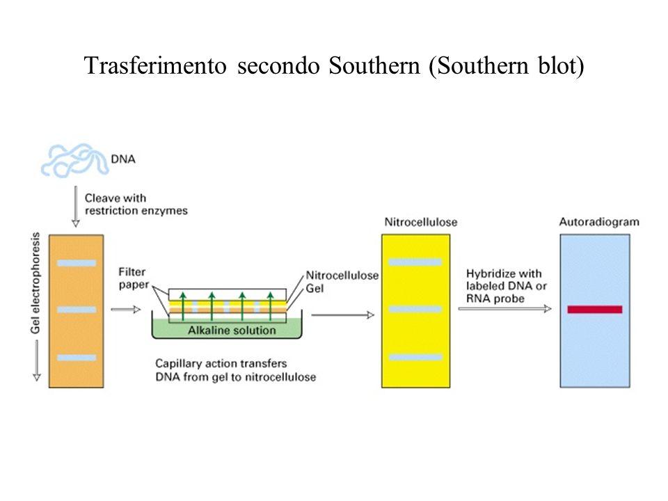 PCR VANTAGGI: Sensibilita Rapidita Si presta allanalisi simultanea di molti campioni (high throughput) Si presta allanalisi simultanea di diverse sequenze sullo stesso campione Si presta allanalisi di DNA degradato o incluso in mezzi strani, o fissato SVANTAGGI: Sensibilita (rischio di contaminazioni-falsi positivi) Variabile efficienza di amplificazione a seconda della sequenza Richiede conoscenza di base delle sequenze da amplificare e messa a punto per coppie di oligonucleotidi di innesco (primers) Può sintetizzare frammenti relativamente corti La sintesi è imprecisa e introduce errori nella sequenza(la Taq pol non possiede attività 3->5 esonucleasica)