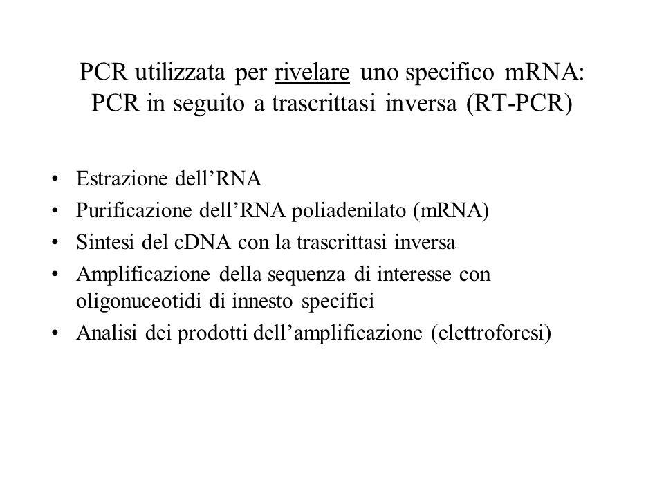 PCR utilizzata per rivelare uno specifico mRNA: PCR in seguito a trascrittasi inversa (RT-PCR) Estrazione dellRNA Purificazione dellRNA poliadenilato