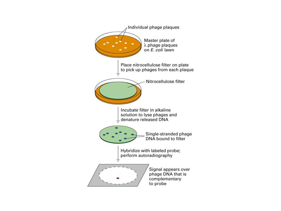 Macroarray Le molecole sonda vengono legate a membrane di nylon Come tracciante viene utilizzata la radioattività Analisi di qualche decina o poche centinaia di geni Paragone tra lintensita dei segnali ottenuti con campioni marcati diversi