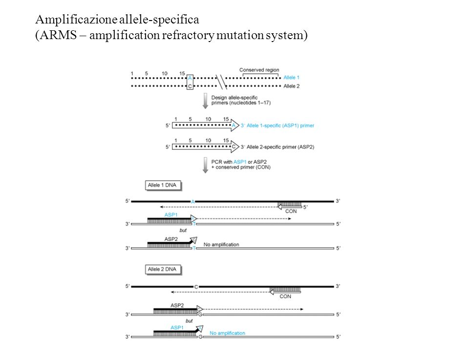 Amplificazione allele-specifica (ARMS – amplification refractory mutation system)