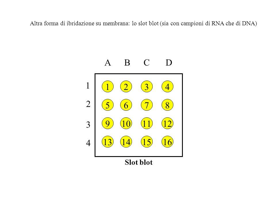 Slot blot 1 2 3 4 ABCD Altra forma di ibridazione su membrana: lo slot blot (sia con campioni di RNA che di DNA)