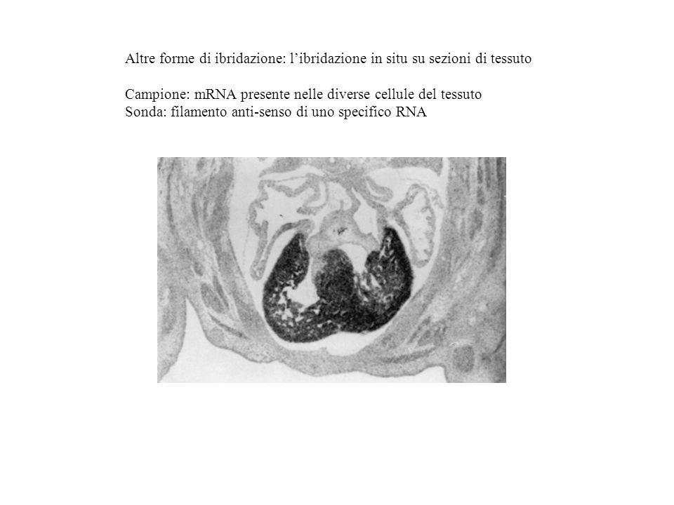 Altre forme di ibridazione: libridazione in situ su sezioni di tessuto Campione: mRNA presente nelle diverse cellule del tessuto Sonda: filamento anti