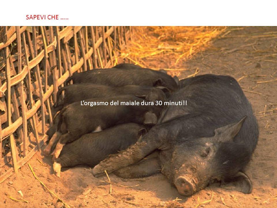 SABIAS QUE… Lorgasmo del maiale dura 30 minuti!! SAPEVI CHE …..