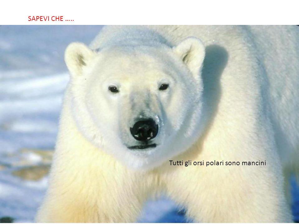 SABIAS QUE… Tutti gli orsi polari sono mancini SAPEVI CHE …..