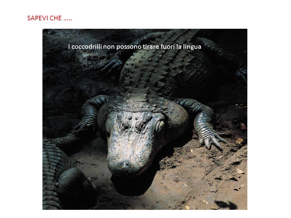 SABIAS QUE… I coccodrilli non possono tirare fuori la lingua SAPEVI CHE …..