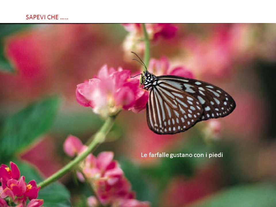 SABIAS QUE… Le farfalle gustano con i piedi SAPEVI CHE …..