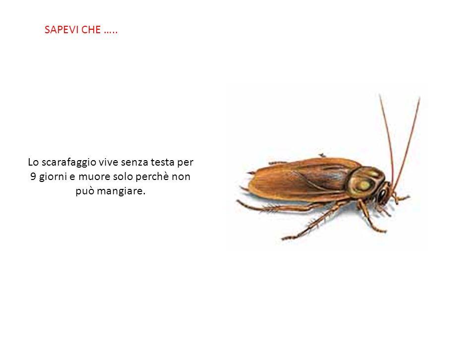 SABIAS QUE… Lo scarafaggio vive senza testa per 9 giorni e muore solo perchè non può mangiare.