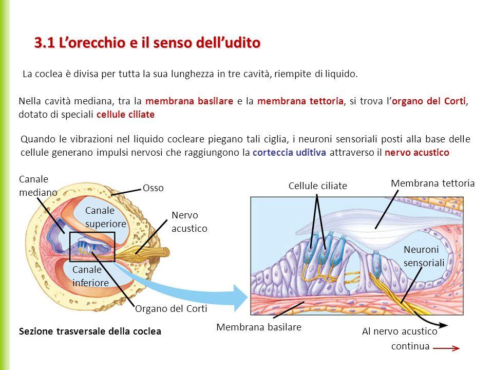 3.1 Lorecchio e il senso delludito continua Canale mediano Osso Nervo acustico Organo del Corti Cellule ciliate Membrana tettoria Neuroni sensoriali A