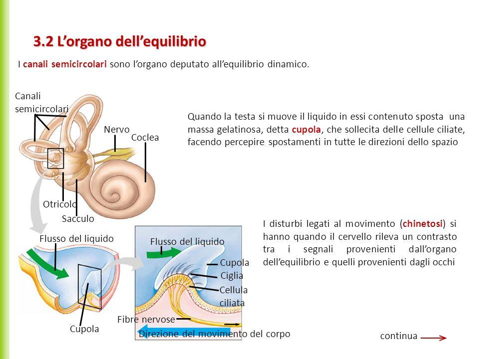 3.2 Lorgano dellequilibrio continua Canali semicircolari Nervo Coclea Otricolo Sacculo Flusso del liquido Cupola Flusso del liquido Cupola Ciglia Cell