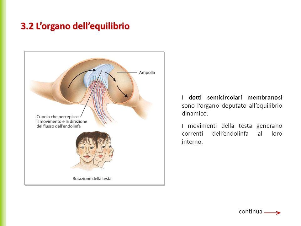 3.2 Lorgano dellequilibrio continua I dotti semicircolari membranosi sono lorgano deputato allequilibrio dinamico. I movimenti della testa generano co