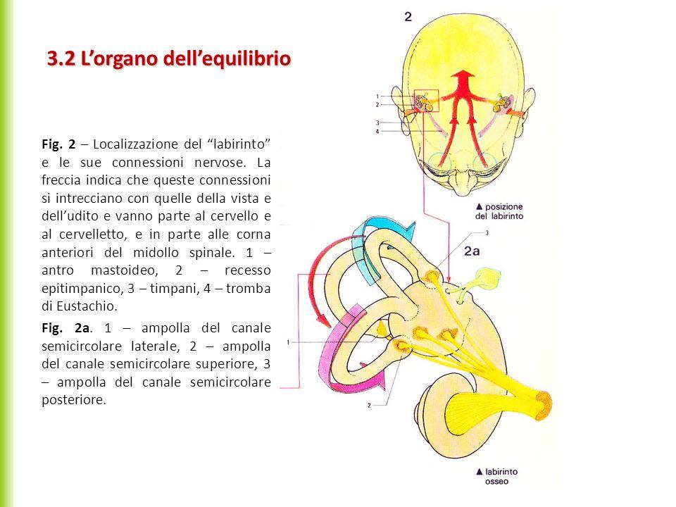 3.2 Lorgano dellequilibrio Fig. 2 – Localizzazione del labirinto e le sue connessioni nervose. La freccia indica che queste connessioni si intrecciano