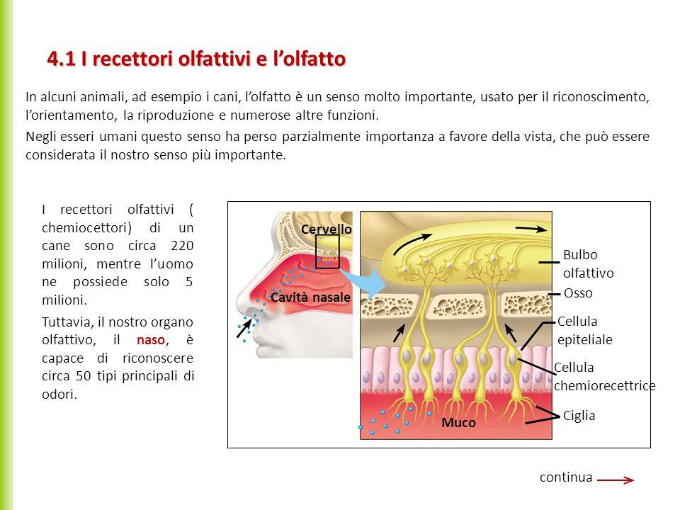 4.1 I recettori olfattivi e lolfatto continua Potenziali dazione In alcuni animali, ad esempio i cani, lolfatto è un senso molto importante, usato per