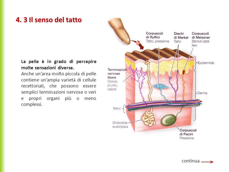 4. 3 Il senso del tatto continua La pelle è in grado di percepire molte sensazioni diverse. Anche unarea molto piccola di pelle contiene unampia varie