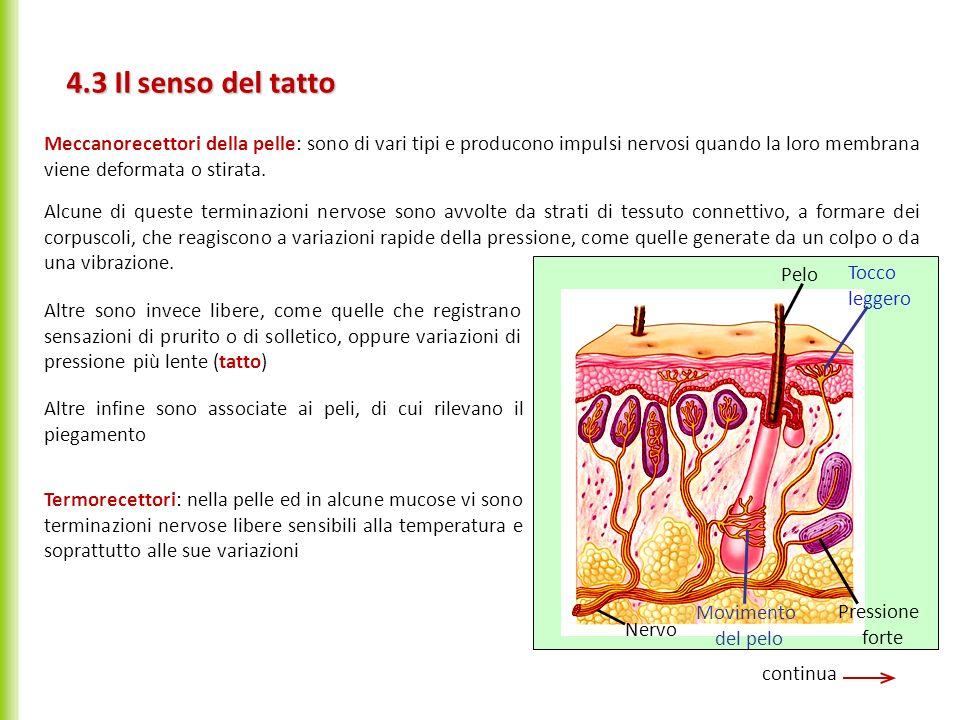 4.3 Il senso del tatto continua Alcune di queste terminazioni nervose sono avvolte da strati di tessuto connettivo, a formare dei corpuscoli, che reag