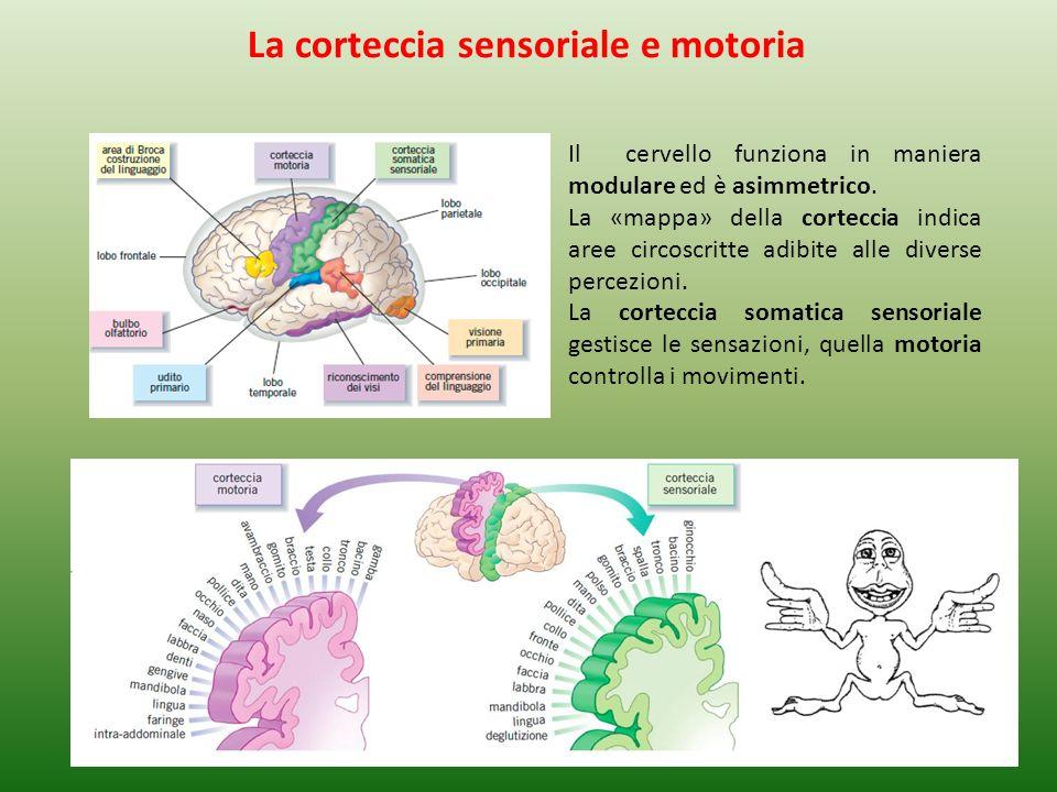 Il cervello funziona in maniera modulare ed è asimmetrico. La «mappa» della corteccia indica aree circoscritte adibite alle diverse percezioni. La cor