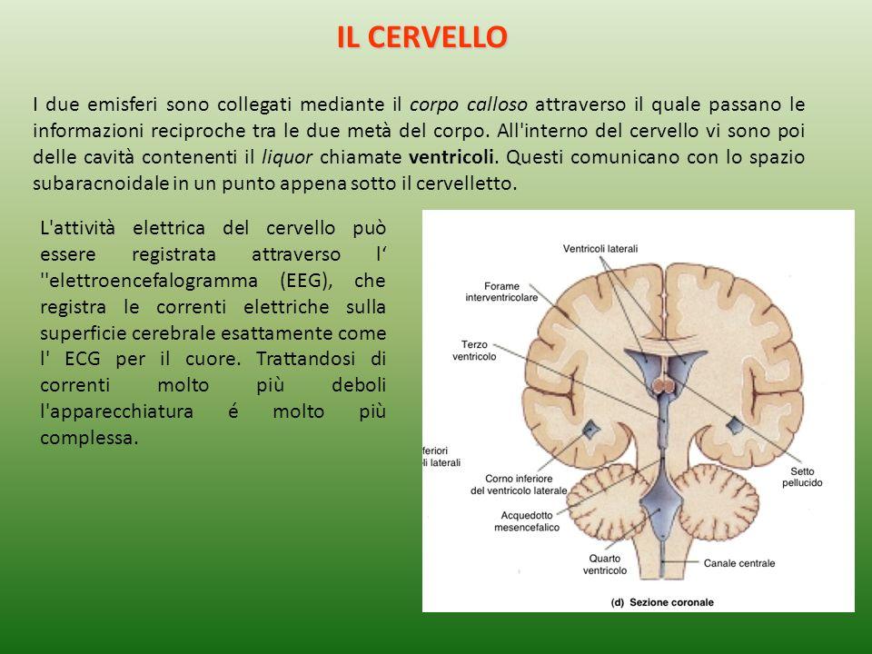 IL CERVELLO I due emisferi sono collegati mediante il corpo calloso attraverso il quale passano le informazioni reciproche tra le due metà del corpo.