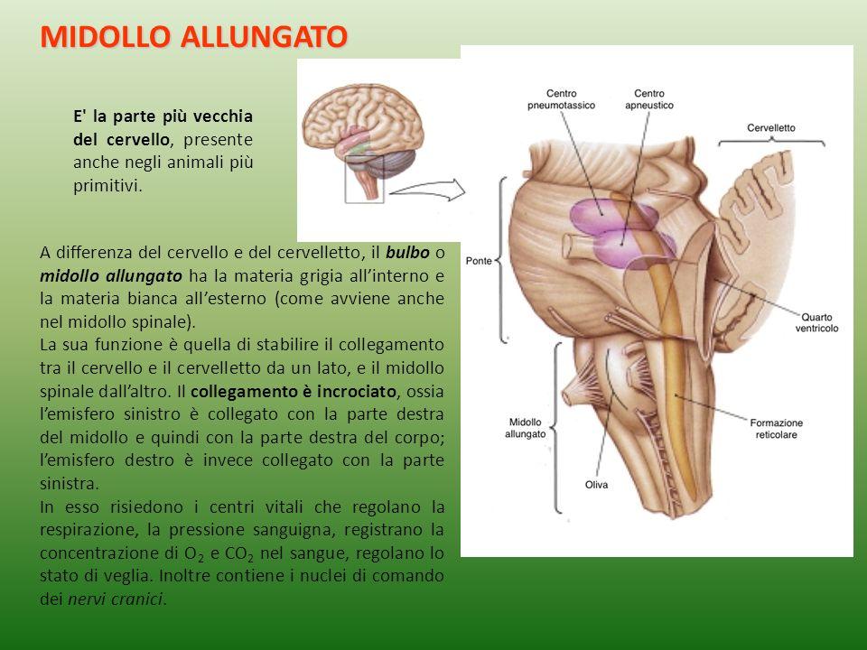 A differenza del cervello e del cervelletto, il bulbo o midollo allungato ha la materia grigia allinterno e la materia bianca allesterno (come avviene