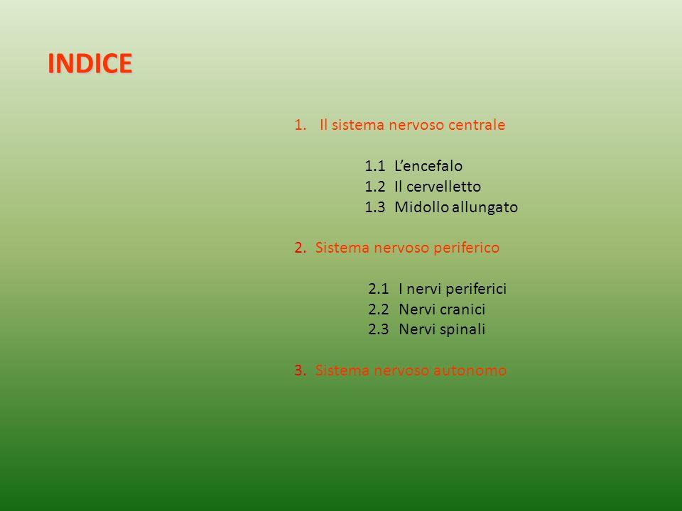 1.Il sistema nervoso centrale 1.1Lencefalo 1.2Il cervelletto 1.3Midollo allungato 2.Sistema nervoso periferico 2.1I nervi periferici 2.2Nervi cranici