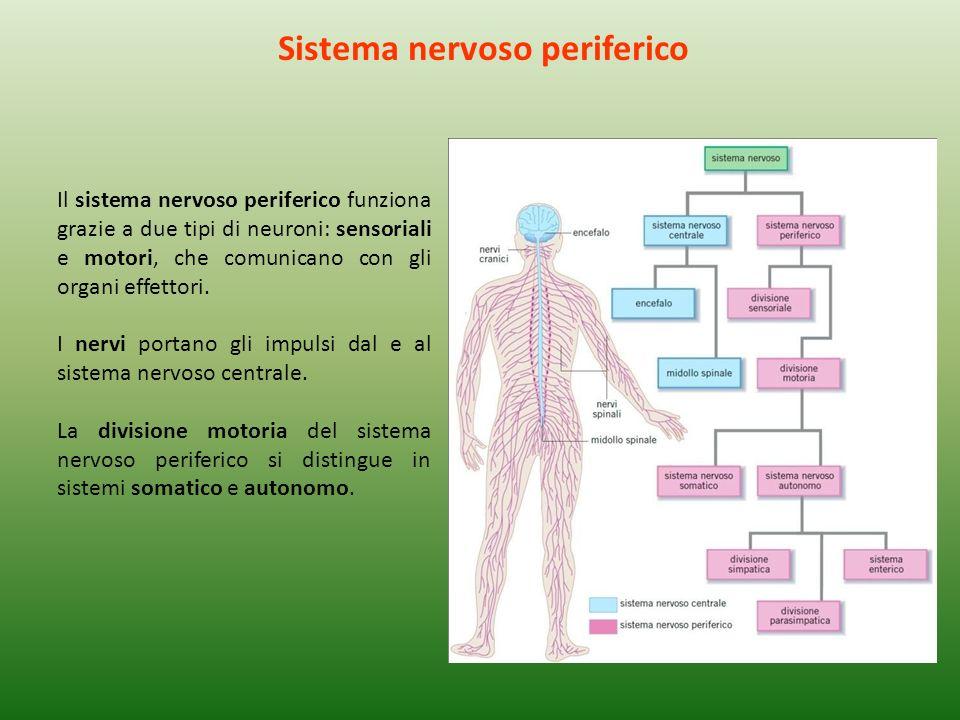 Il sistema nervoso periferico funziona grazie a due tipi di neuroni: sensoriali e motori, che comunicano con gli organi effettori. I nervi portano gli