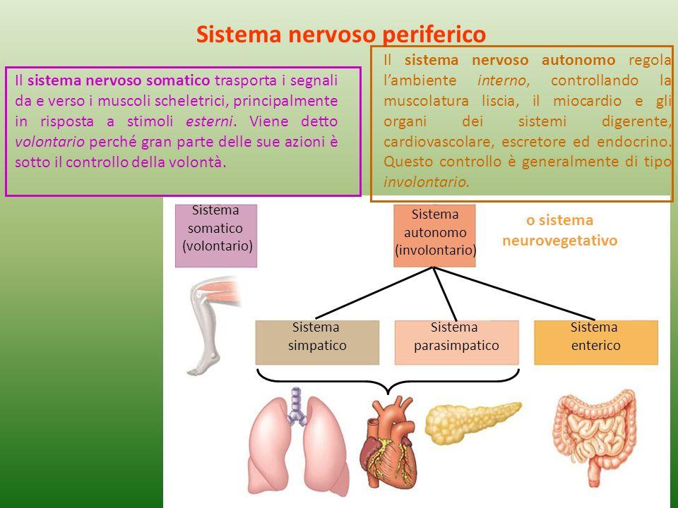Sistema somatico (volontario) Sistema autonomo (involontario) Sistema simpatico Sistema parasimpatico Sistema enterico Il sistema nervoso somatico tra