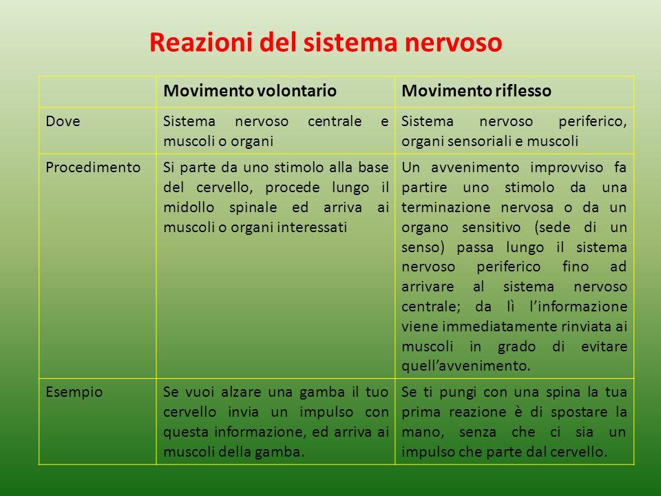 Reazioni del sistema nervoso Movimento volontarioMovimento riflesso DoveSistema nervoso centrale e muscoli o organi Sistema nervoso periferico, organi